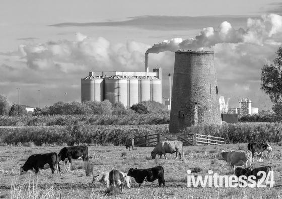 Buckenham Cattle to Cantley B&W