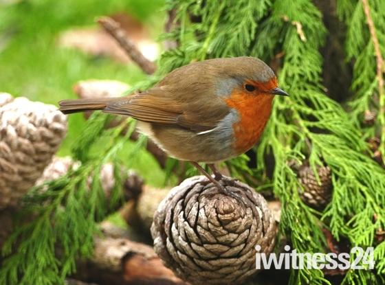 Robin in the conifer.