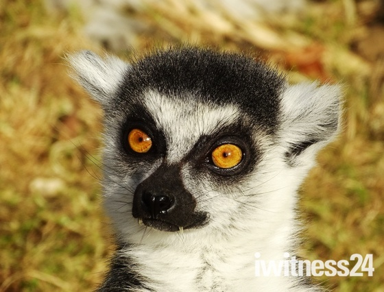 Lemur in close up.