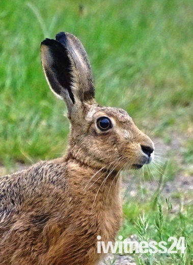 Brown Hare in close up.