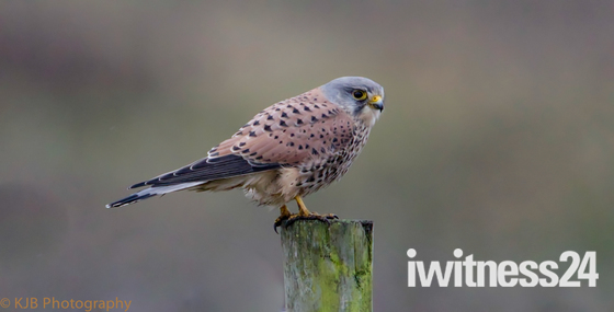 kestrel perched on a post