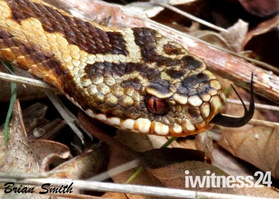 Female Adder     ( close up )