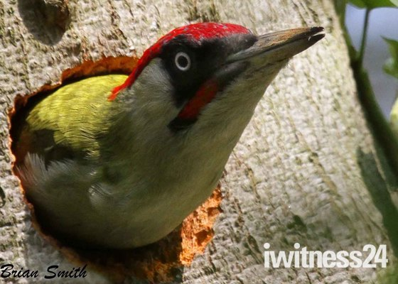Male Green Woodpecker.