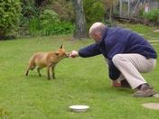 Feeding our fox