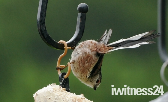 Acrobatic Long Tailed Tit.