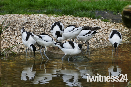 Avocets At Pensthorpe