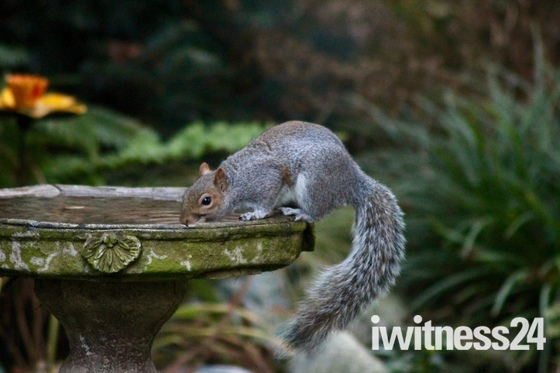 Thirsty Squirrel