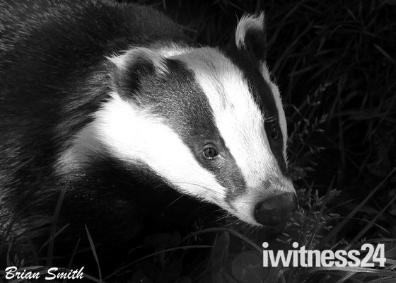 Badger in a shaft of light