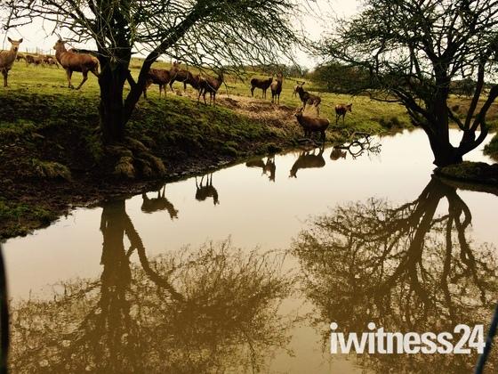 Deer reflection
