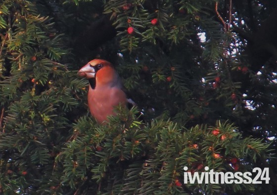 A lucky sighting of a Hawfinch