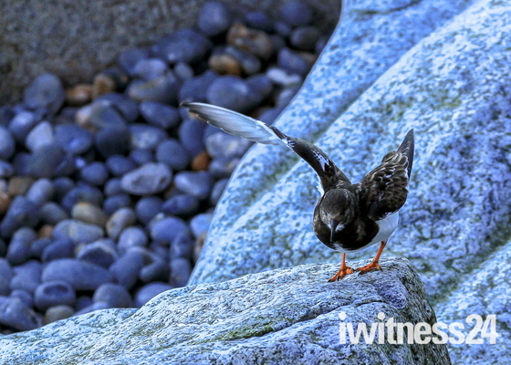 Turnstones on the rocks