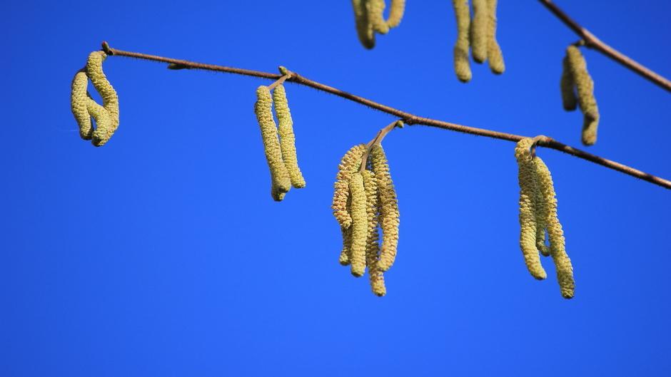 Knalblauwe lucht en hazelaar in bloei