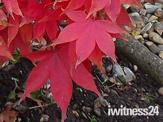 THE AUTUMN REDS OF A YOUNG ACER TREE