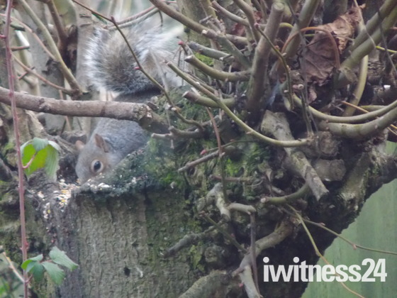 THE GREY SQUIRREL IN THE GARDEN