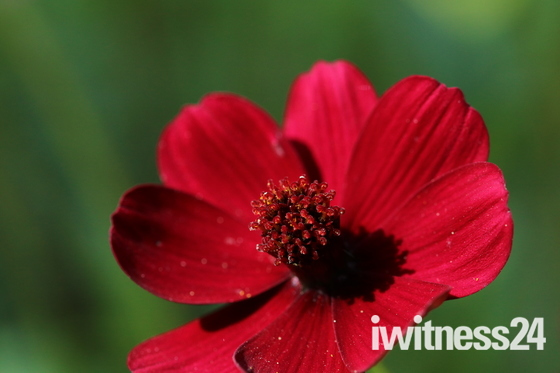 Something Red: Cosmos
