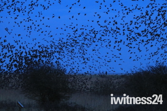 Final picture of murmuration over Minsmere the landing to roost