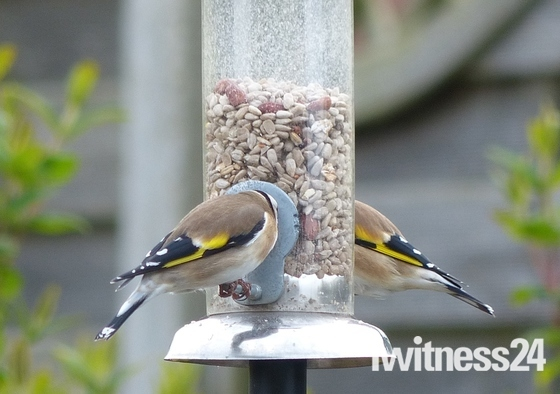 Chaffinches Enjoying The Sunflower Seeds