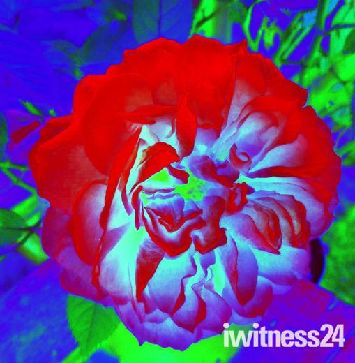 Rose Rose Rose red.......
