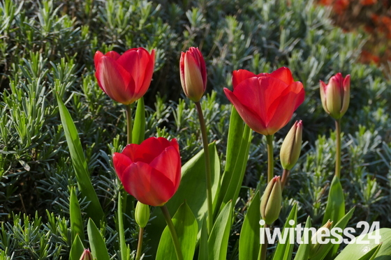 SOMETHING RED. Tulips