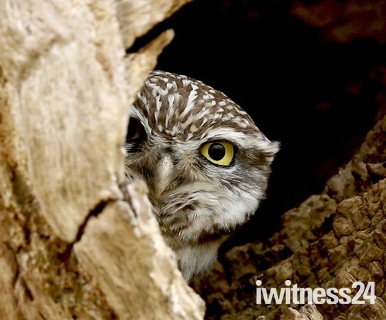 Little Owl keeping an eye out.