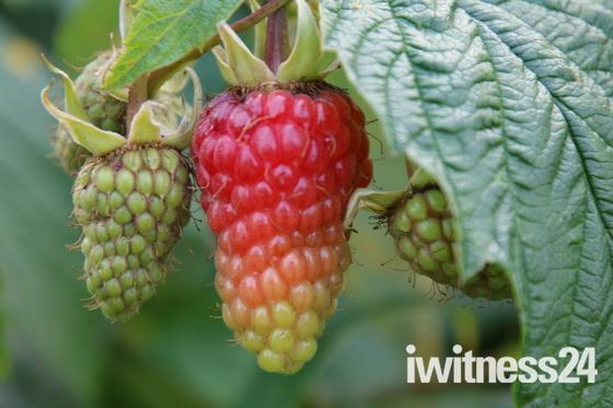 Something Red:Loganberry
