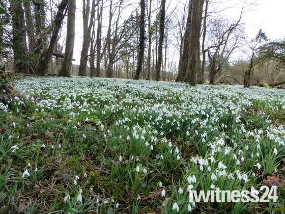 Snowdrop Walk AT Walsingham Abbey