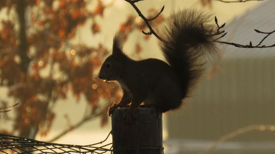 Kwijlende Rode eekhoorn