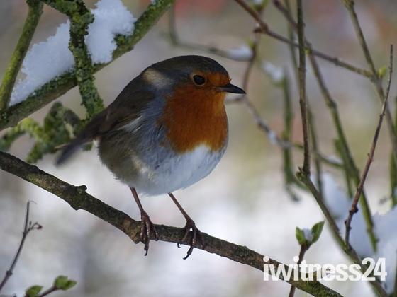 The lovely little robin.