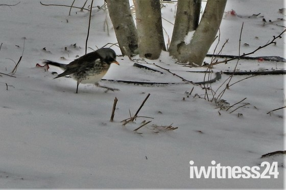 Fieldfare spotted in Queen Elizabeth Olympic Park
