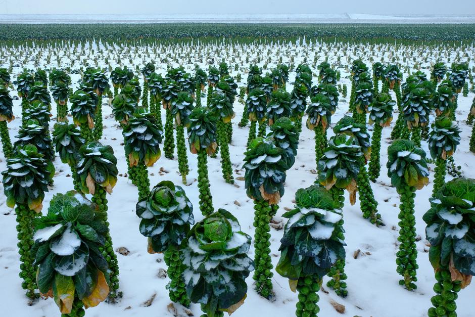 spruiten met sneeuw