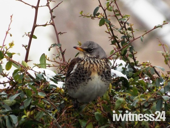 Fieldfares Come to Worle