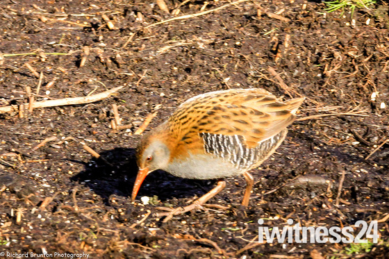 Hungry Water Rail