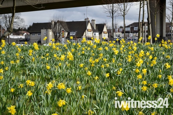 Redbridge Roundabout is alive with thousands of golden daffodil