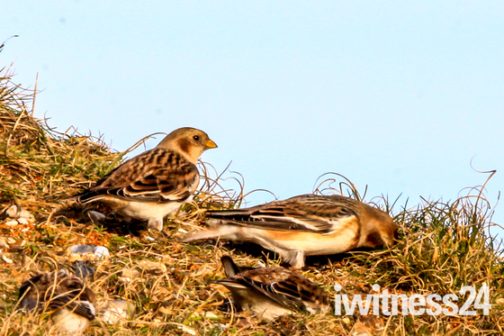 Snow Bunting feeding on the shingle