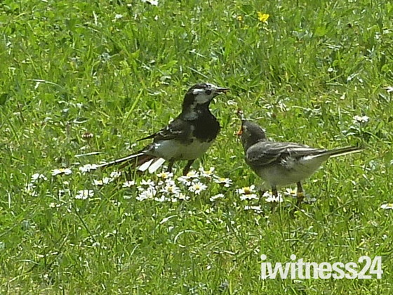 Feeding Young Wagtail