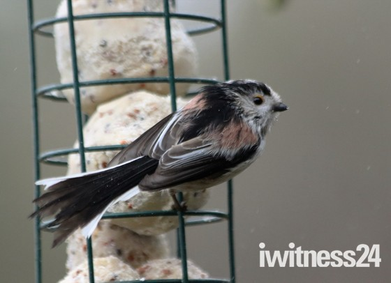 Longtail tit in the rain