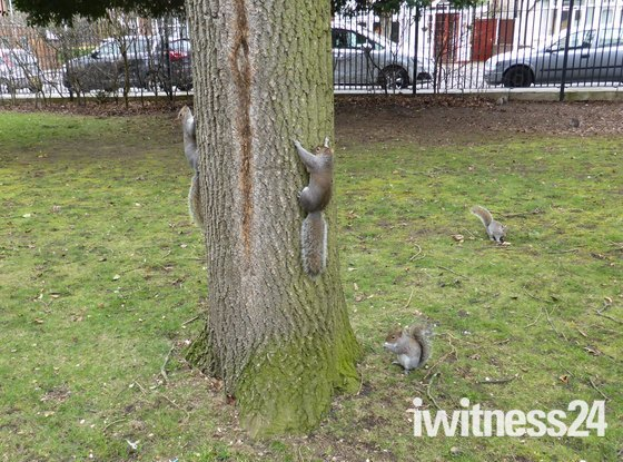 Squirrels playing in Valentine park Ilford