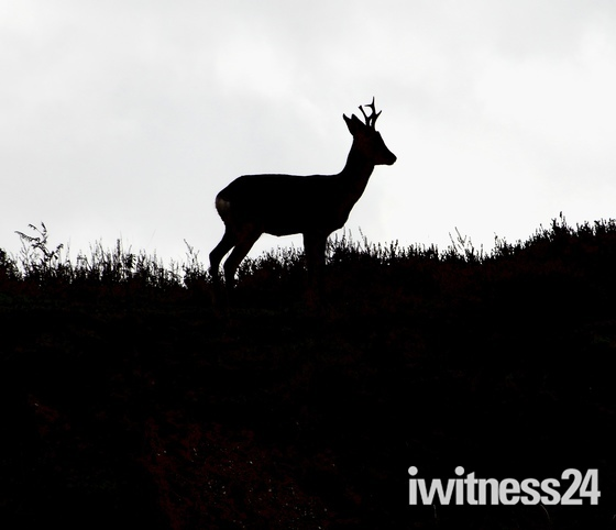Roe deer sillohette