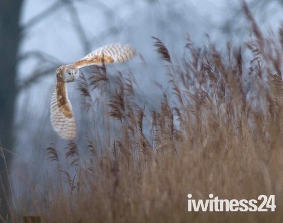 Barn Owl Action Shots.
