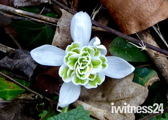 Inner Beauty of a Snowdrop