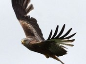 RED KITE  ON THE WILD SIDE