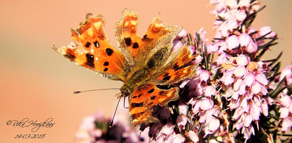 Bijzondere vlinder de Gehakkelde aurelia.