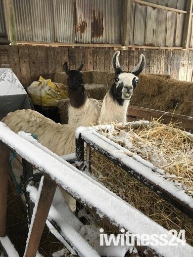 Snow pinn including peakhill llamas