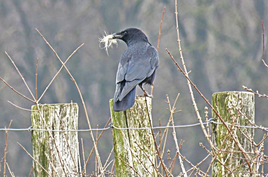 Nestbouwer in Schinveld