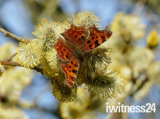 Comma butterfly feeds on nectar from the pussy willow catkins