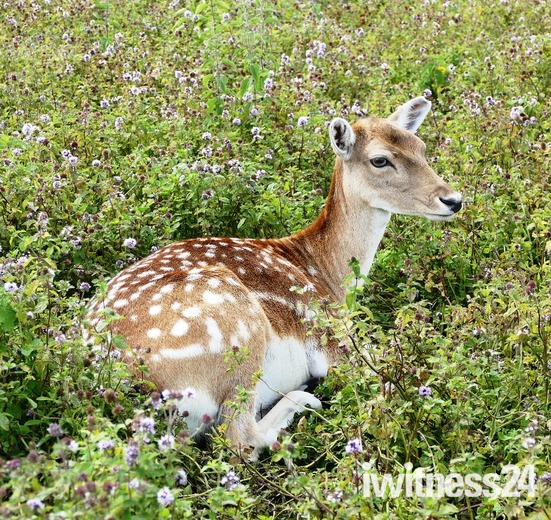 Fallow deer.(photographers choice)