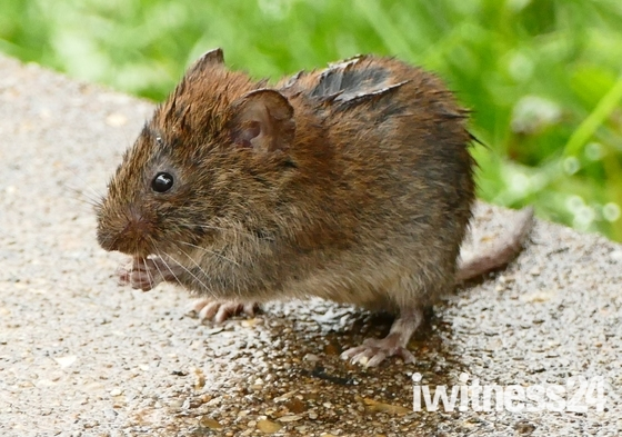 Soggy vole.(photograohers choice)