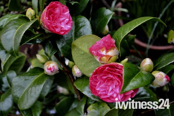 One of the first shrubs to flower in the spring