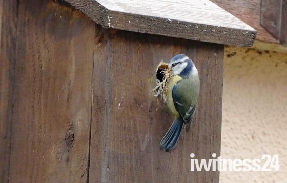Nest building.