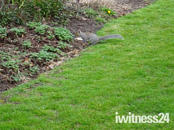 A grey squirrel in Manor Gardens, Exmouth